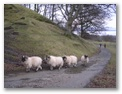 Sheep on track